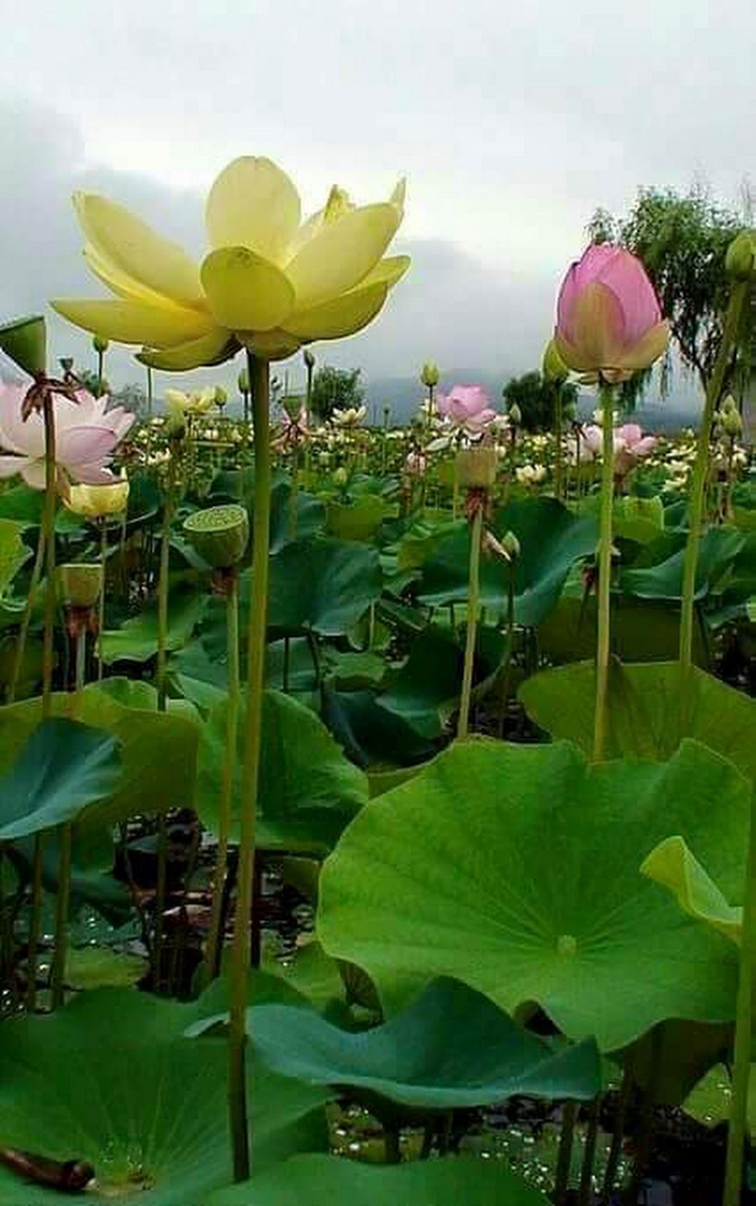 Pin By Elizabeth Gartman On Gardens Pinterest Lotus Flowers And
