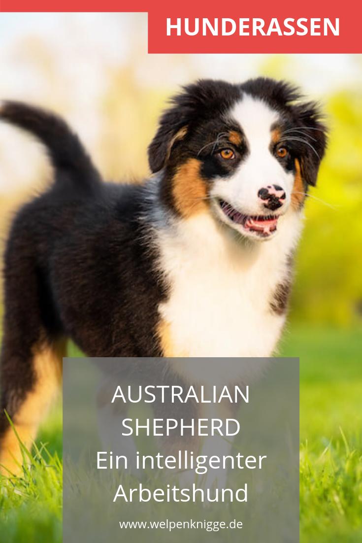 Australian Shepherd Welpen Arbeitshunde Hunderassen Hunde Rassen