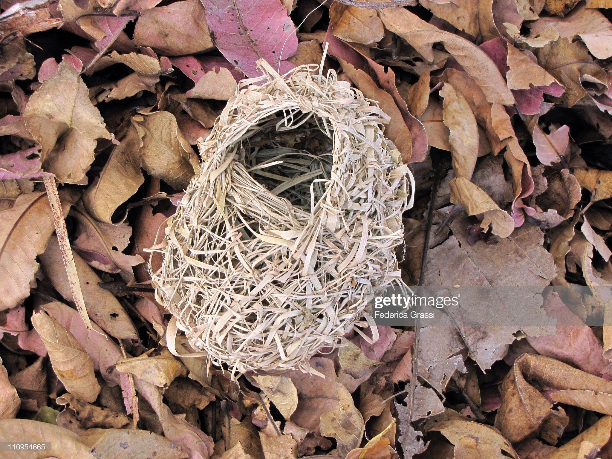 A Fallen Weaver Bird Nest With Leaves Weaver Bird Nest Bird Nest Bird