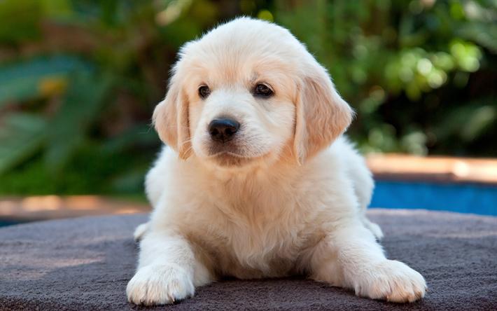 Descargar fondos de pantalla beige cachorro labrador retriever, poco ...