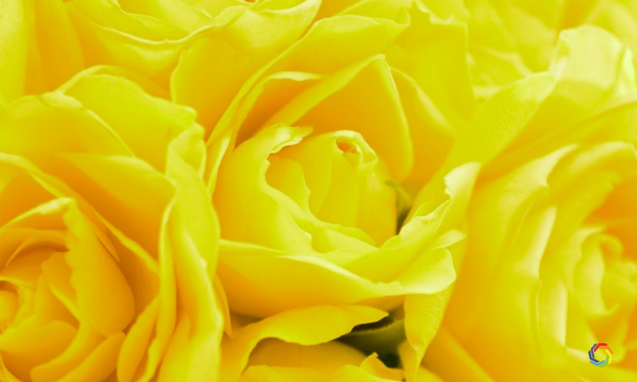 Download Beautiful Yellow Rose Flowers Wallpaper Hd Widescreen Wallpaper Or High Definition Widescreen Wallpapers From The Bel Yellow Roses Flowers Rose Flower