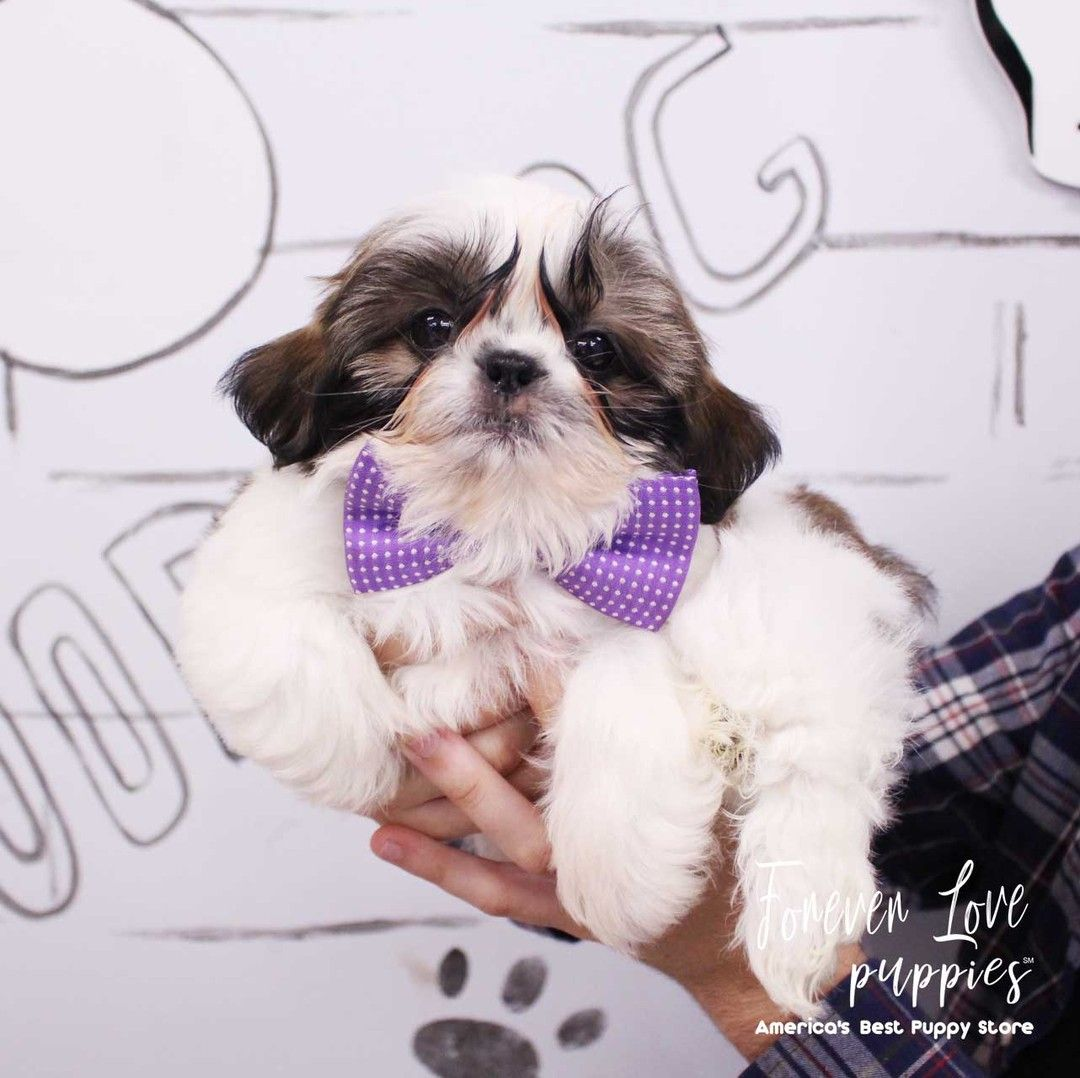 954puppies Com Affordable Financing Available Florida S Largest Puppy Store Open 11am 9pm 365 Days A Year 2 L In 2020 Puppy Store Puppies Miami