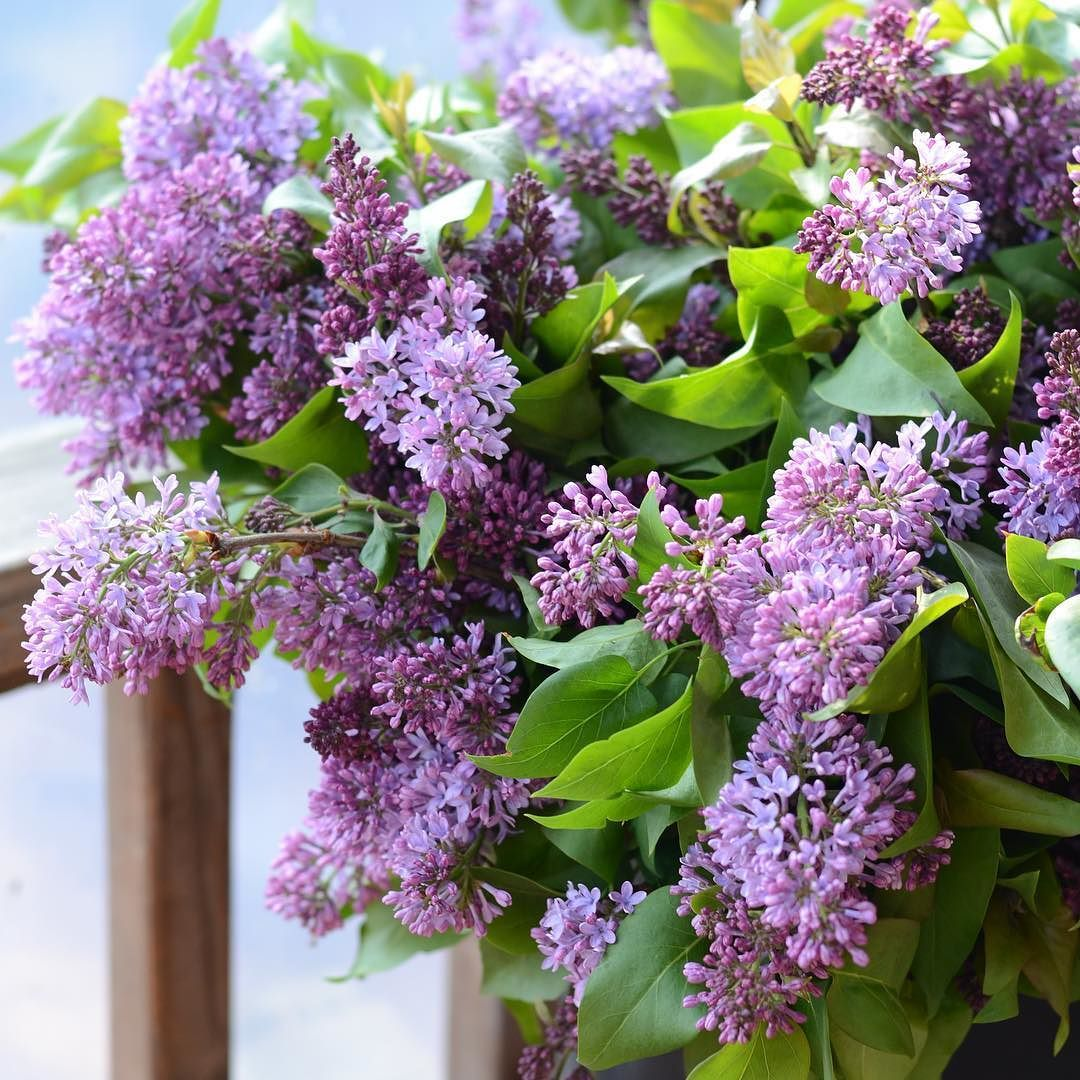 What does a lilac dream about