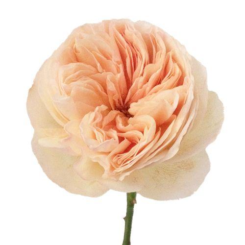 Wholesale Flowers For Weddings Events: David Austin Rose Peach Juliet Ausgameson