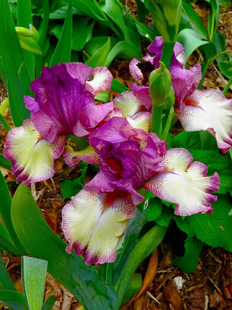 From Captain S Daughter To Army Mom Vacationing At Home Iris Garden Showy Flowers Flowers