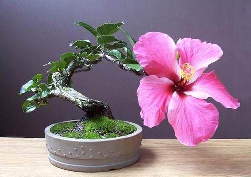 Common Name Hibiscus Scientific Name Hibiscus Rosa Sinensis Blommor Plantering Vaxter