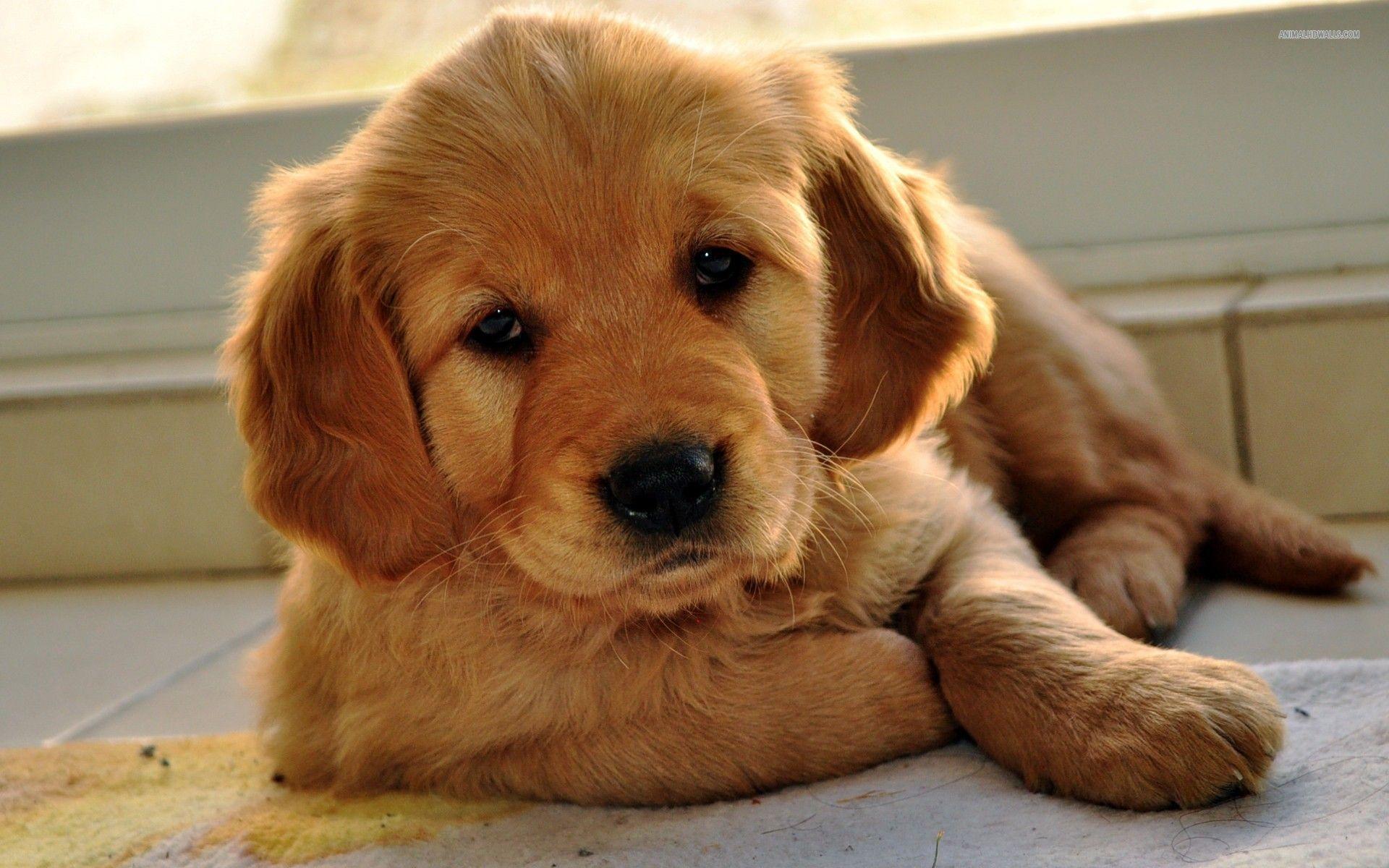 Golden Retriever Puppies Golden Retriever Puppy Wallpaper 1920x1200 Red Golden Retriever Puppy Golden Retriever Puppy Golden Retriever