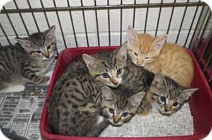 Adopt Ella On Bengal Cat Cat Photo Kittens