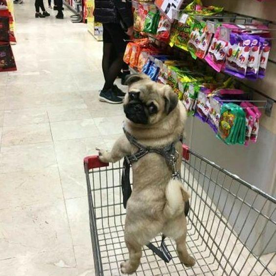 To The Treat Aisle Bibercan1 Tag A Dog Lover 3 Pug Pugs