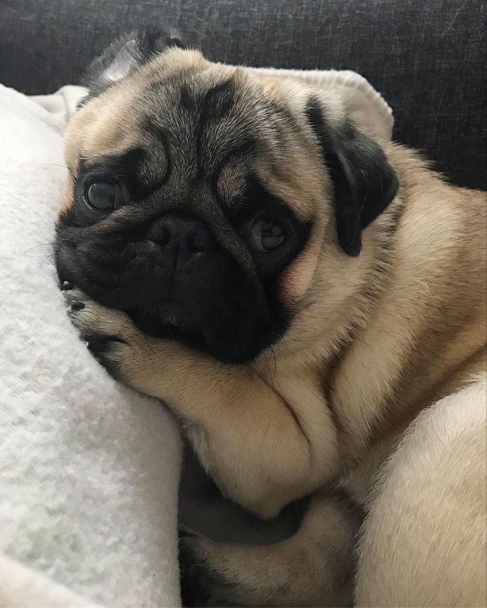 Pin By Alexis Foster On Cute Pugs Pug Puppies Baby Pugs Pugs
