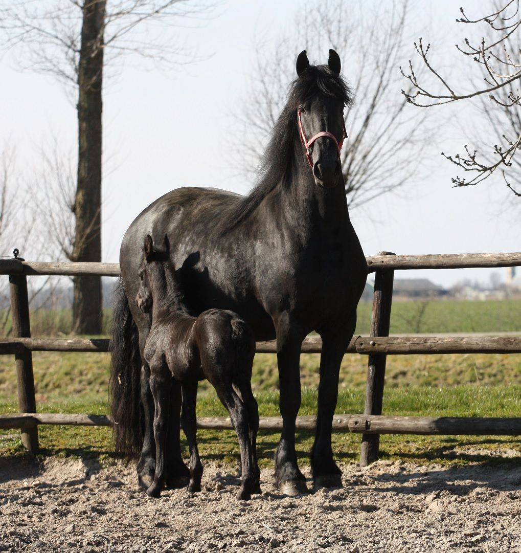 Wendy fan 'e Ridderdyk outside for the first time! She enjoyed the beautiful sunny weather! :) http://www.friesiansforsale.eu