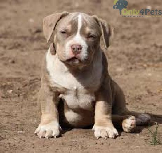 Pin By Only4pets On Only4pets Bully Breeds Dogs American Bully