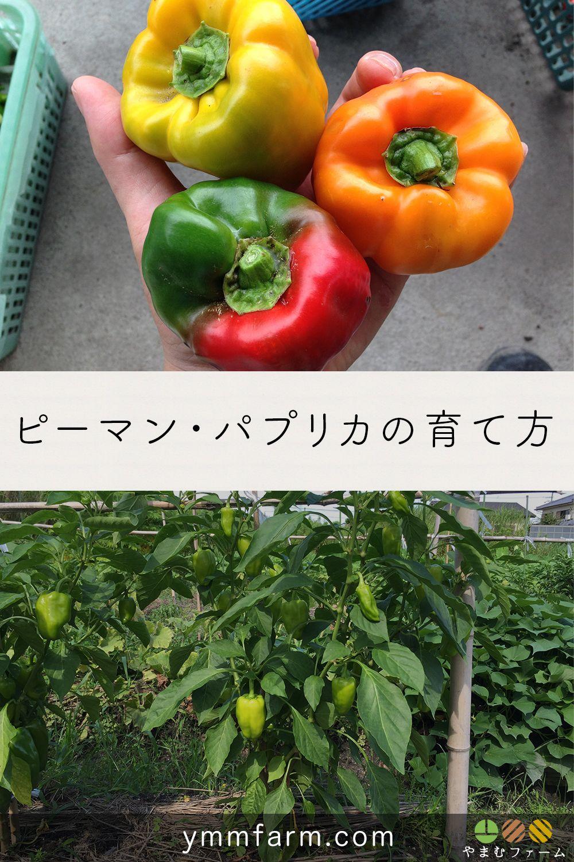 ピーマン パプリカの栽培方法 育て方のコツ 2020 ピーマン