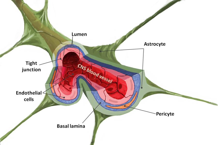 blood brain barrier diagram | Blood Brain Barrier by N3URO-SCI ...