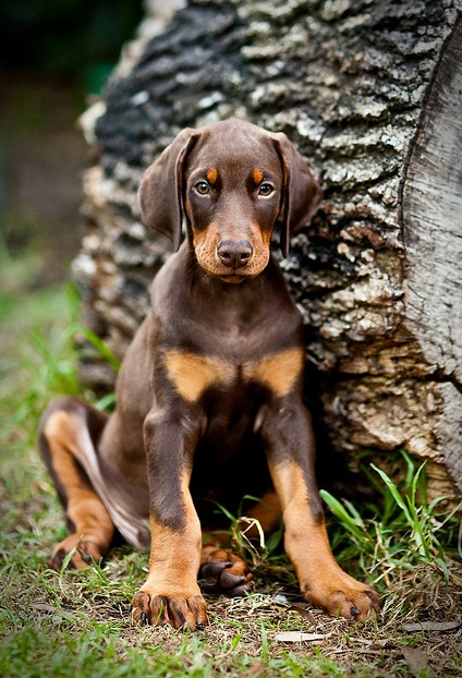 """Click visit site and Check out Best """"Dobermann"""" Shirts. This website is top-notch. Tip: You can search """"your name"""" or """"your favorite shirts"""" at search bar on the top."""
