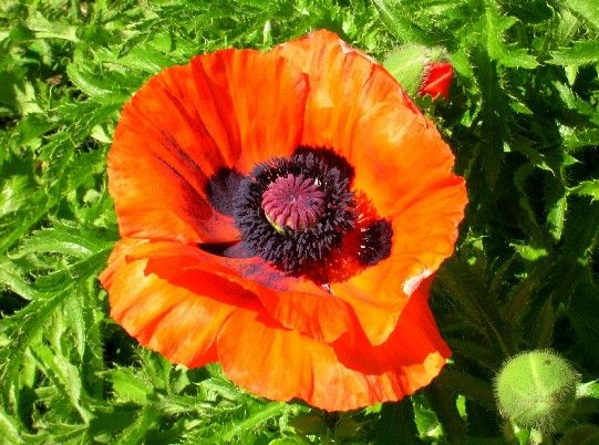 Love bright poppies my style pinterest orange poppy orange poppy love bright poppies mightylinksfo Choice Image