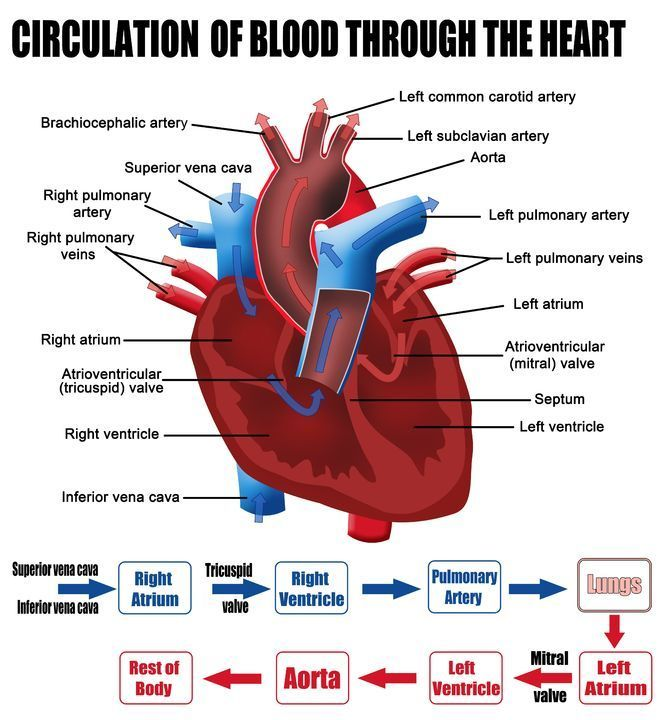 Labelled Figure of the Circulation of Blood Through the Heart – Blood Flow Through the Heart Worksheet