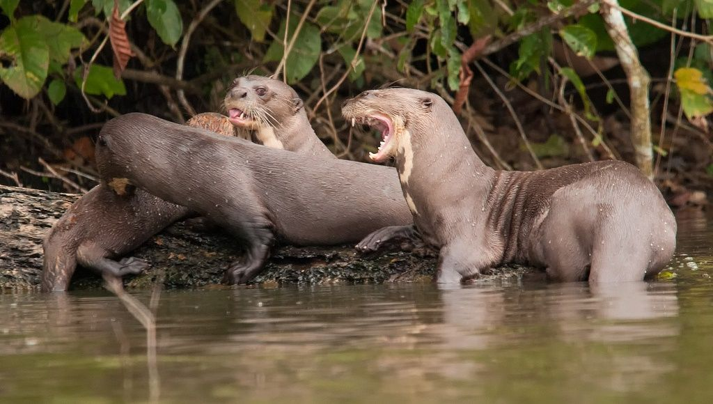 Nutria Gigante River Otter Animals Otters