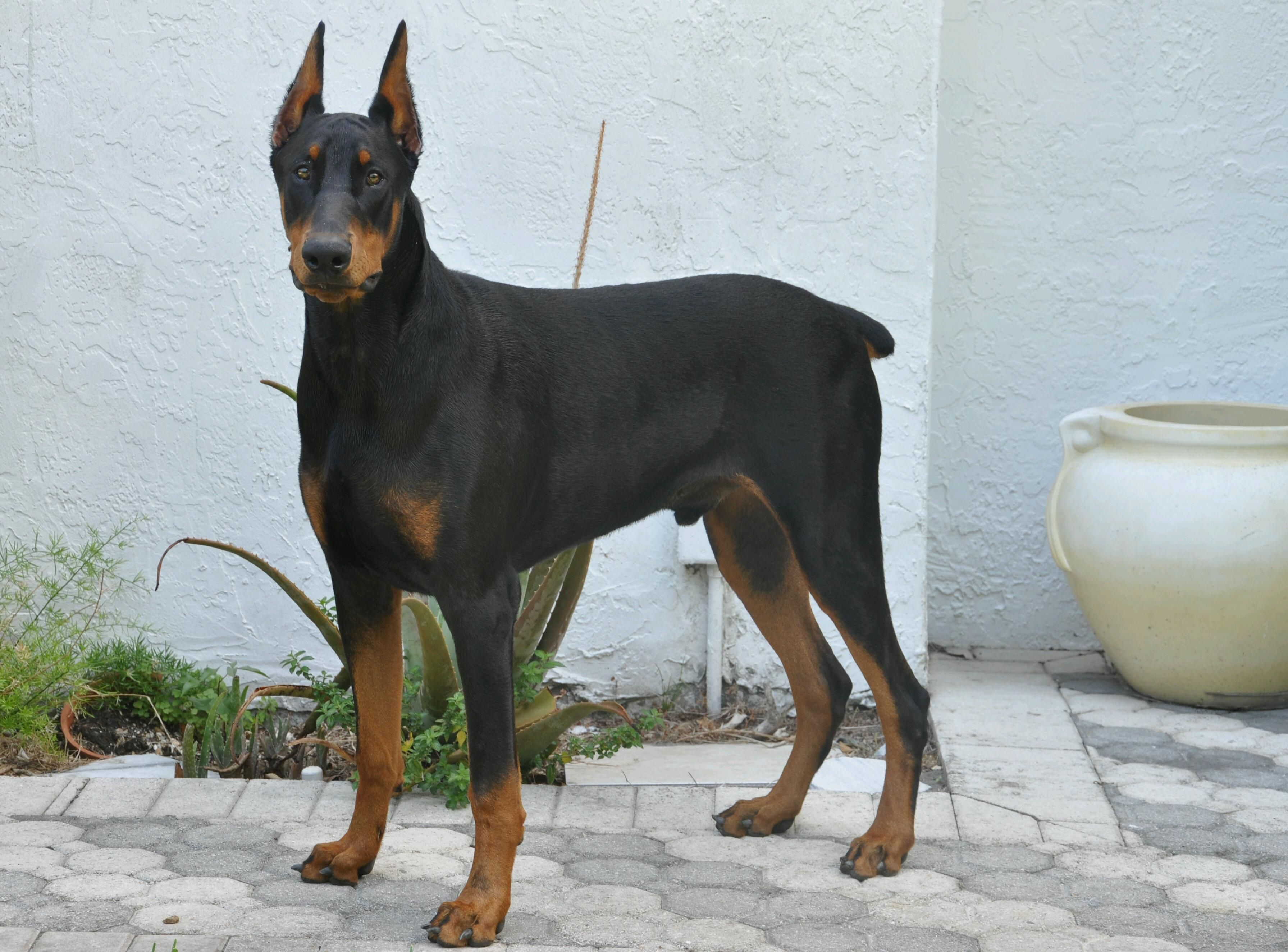 Doberman Pincer Pets Doberman Dogs