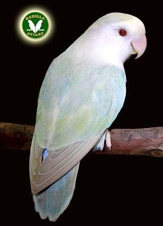 Turquoise Bronze Fallow Small Love Birds Pet Beautiful Birds Pretty Birds