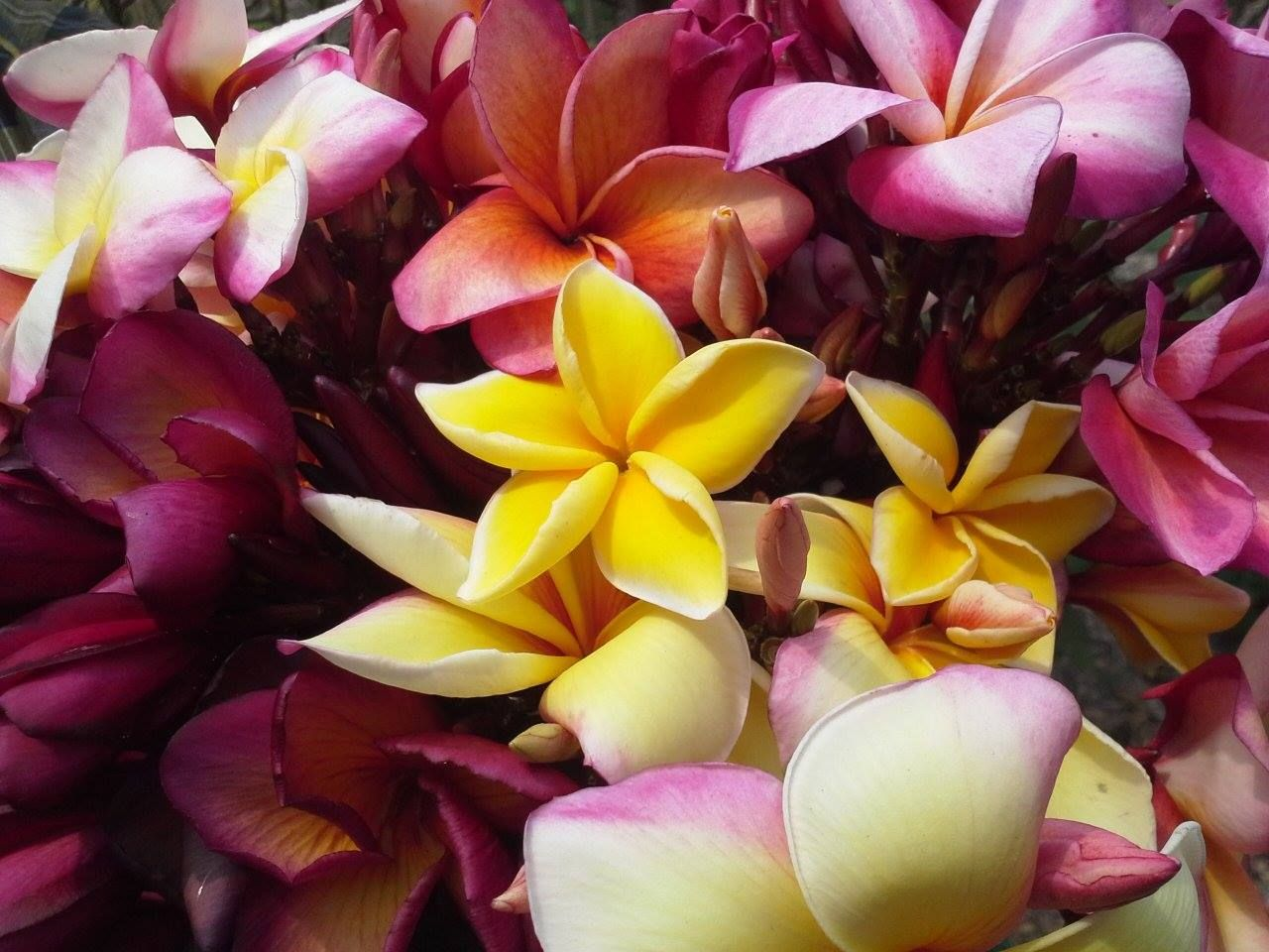 In Asia and Hawaii, the Singapore plumeria (P. obtusa) is