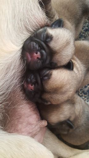 Litter Of 3 Pug Puppies For Sale In Salem Or Adn 19069 On