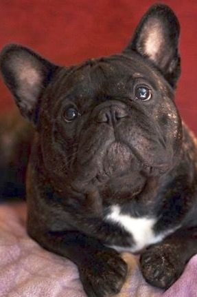 Senior French Bulldog Dog Training Biting Pinterest Service Dogs Bulldogs And