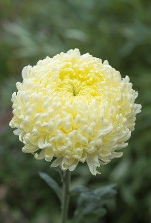 What Is White Chrysanthemum Flower Meaning White Chrysanthemum Flower Meanings Chrysanthemum Flower