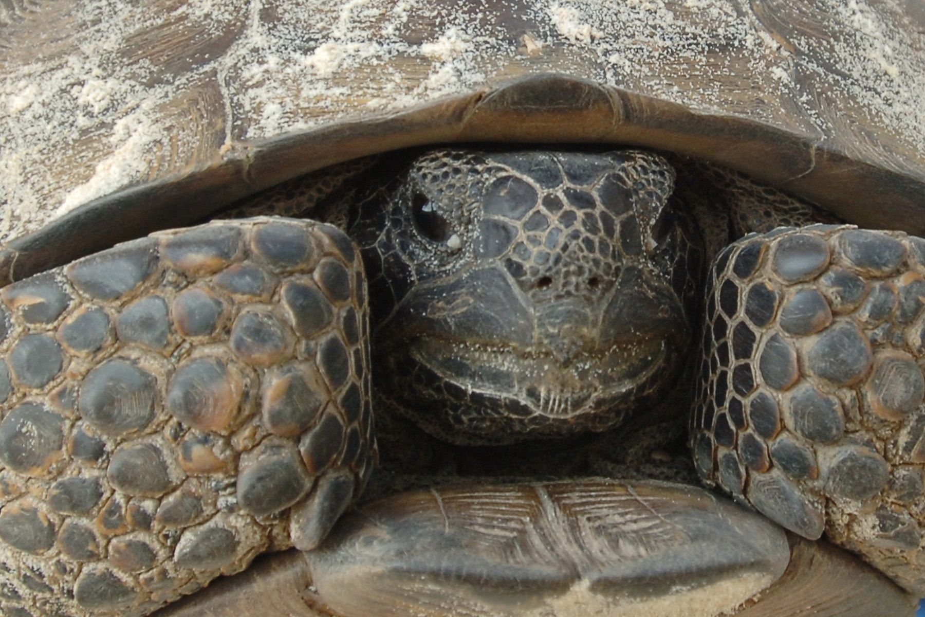 Feds say gopher tortoises need protection, but won't get it soon