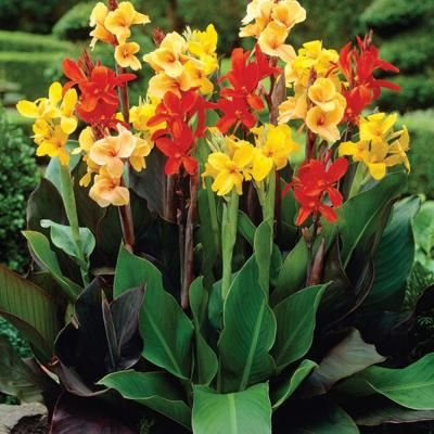 Canna Mixed Standard Dormant Bulbs 8 Pack 70216 The Home Depot