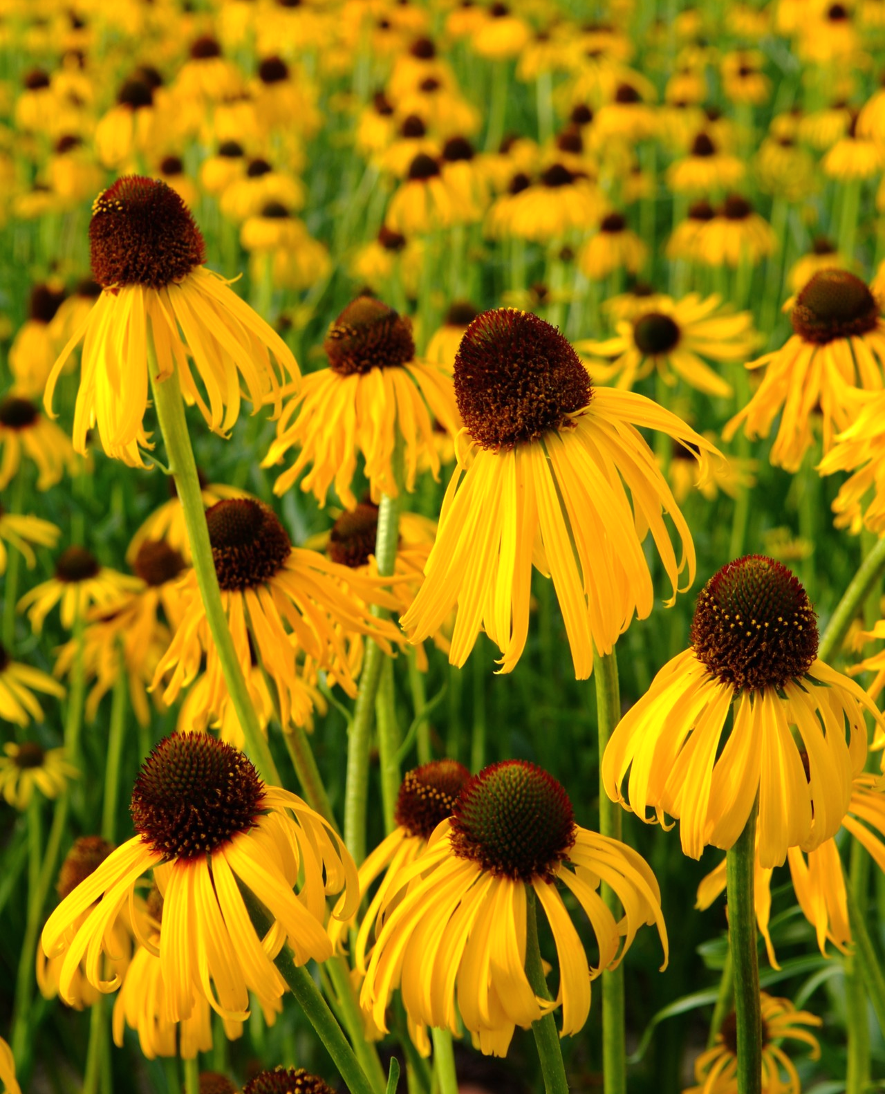 We All Love Purple Coneflowers Echinacea Purpurea But Have You Grown Perennial Yellow Coneflowers No Not R Echinacea Echinacea Purpurea Flowers Perennials