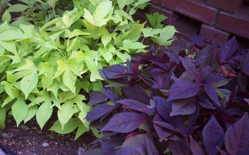 Sweet Potato Vine Idea Around The Tress Out Front Potato Vines Garden Vines Sweet Potato Vine