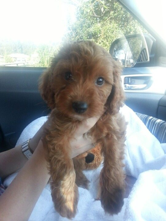 Bailey cavoodle love of my life Cute Pinterest