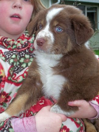 Border Aussie Puppy Border Collie Australian Shepherd Hybrid