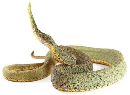 Malagasy Leaf-nosed Snake (Langaha madagascariensis) | Snake ...