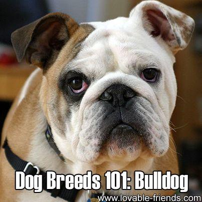 Dog Breeds 101 Bulldog Bulldog English Bulldog Puppies Dog