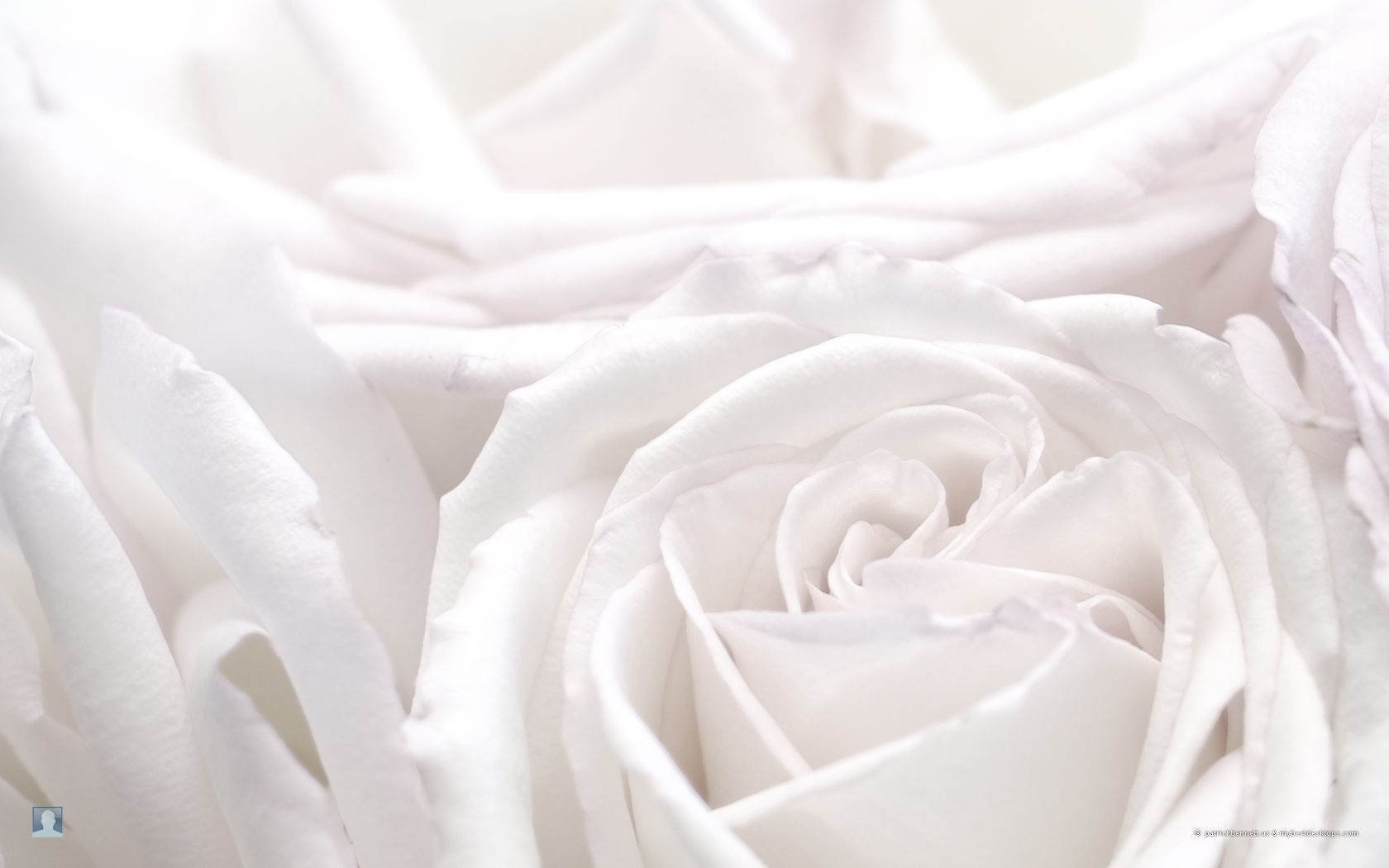 White rose hd photos flowers wallpapers collections free download white rose hd photos flowers wallpapers collections free download 16801050 white rose wallpaper 54 wallpapers adorable wallpapers mightylinksfo