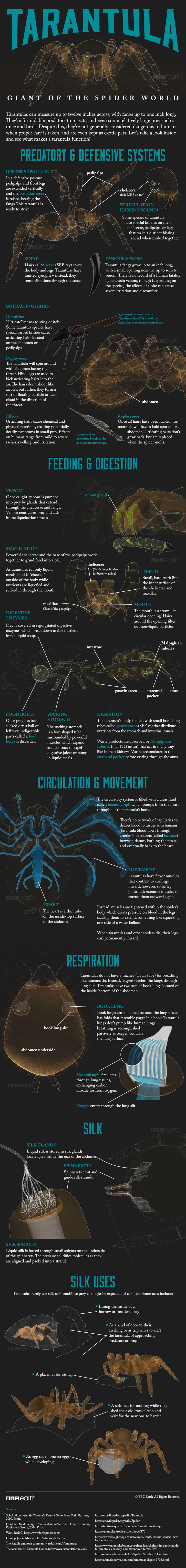 Interesting Facts about Tarantulas [Infographic] | Araña, Animales y ...