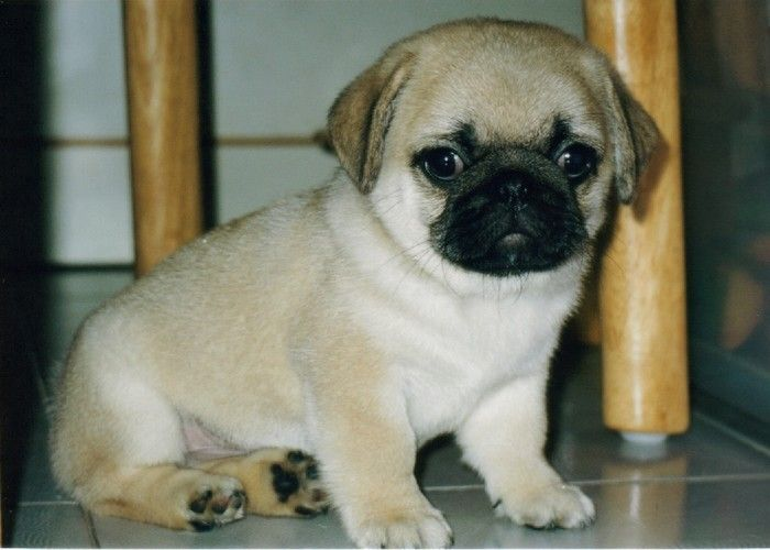 Only Puppy Pug The And Girl Really Sale Vodafone Of Cross Cute