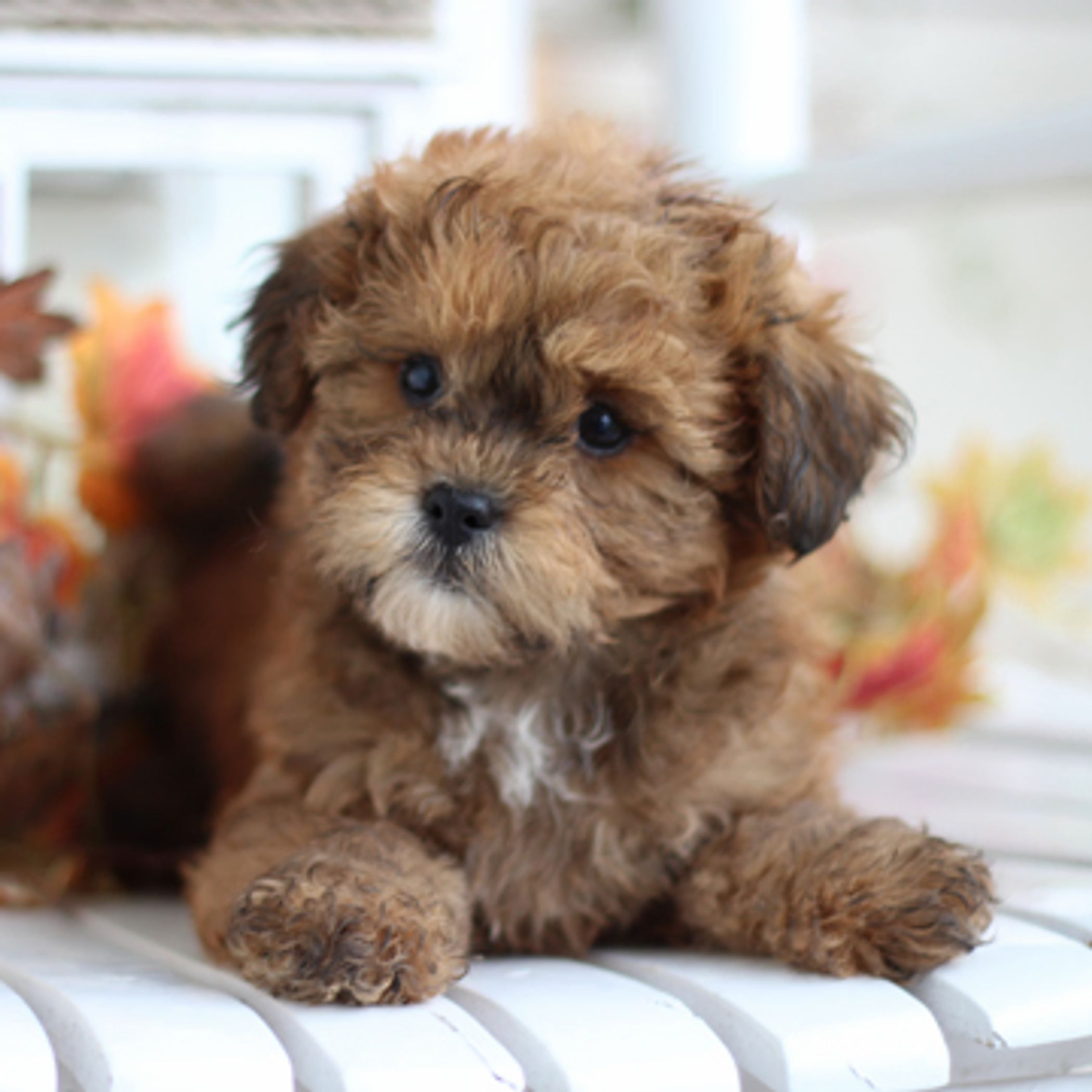 Home page for timbercreek puppiesshihpoo puppies for sale