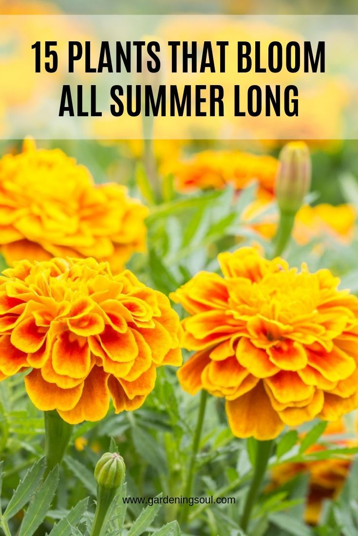 15 Plants That Bloom All Summer Long is part of Plants, Summer plants, Flowers perennials, Perennial garden, Planting flowers, Flower garden - As spring wears off and summer heat picks up, most gardeners find it rather tiring to work in the garden  That's why you need to look for flowering plants  both annuals and perennials  that bloom profusely throughout the season without much pampering from you  Fortunately, you have a wide selection of summer bloomers to choose from  Petunia […]