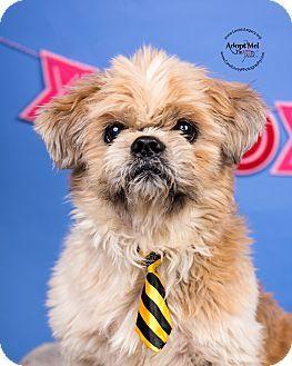 Cincinnati Oh Lhasa Apso Mix Meet Toby A Dog For Adoption