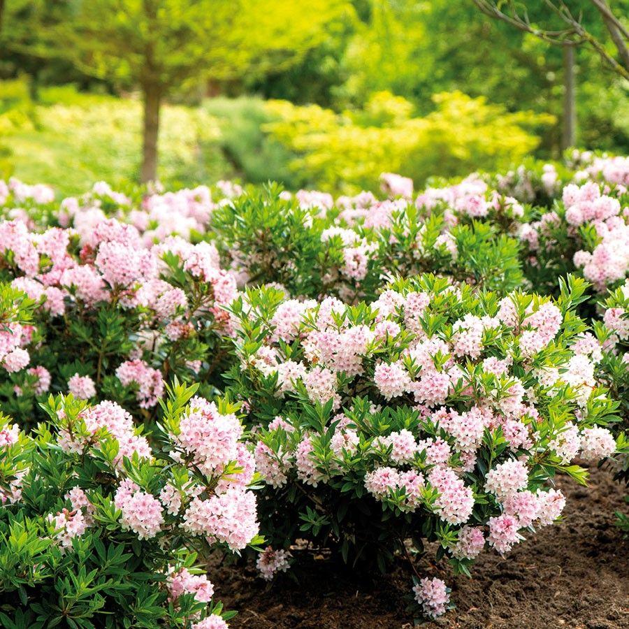 Rhododendron Bloombux Online Kaufen Bestellen Pflanzen Bloombux Tom Garten