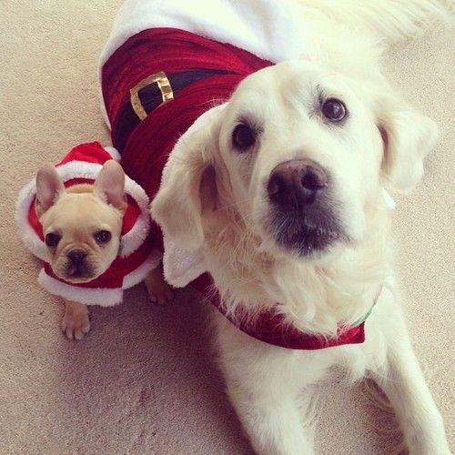 Golden Retriever And French Bulldog What More Do You Need In Life