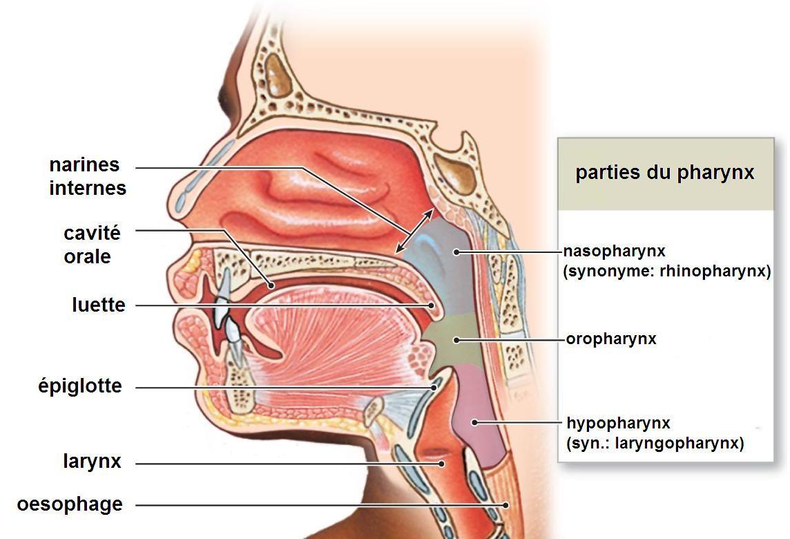 Schéma anatomie larynx | OS et MUSCLES de la TÊTE by SERENI ...