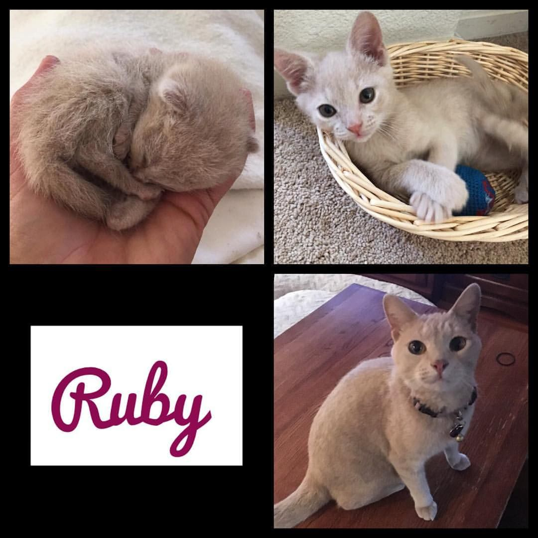 Happy 3 Year Adoptaversary Baby Ruby Former Foster Ruby Was One Of Three Ginger Buff Color Female Siblings Who Provided Foster Kittens Fur Babies Kitten