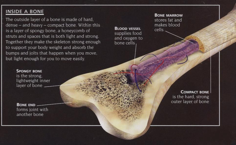 Diagram Of A Bone Inside 2003 Jeep Liberty Engine Pin By Carissa Lebo On Science Projects Pinterest Skeletal Human Anatomy Amp Physiology Video The System Description From Com