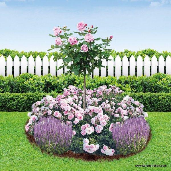 kordes rosen parfuma rundbeet gartenrosen die sch nsten rosen der welt flowers blumen. Black Bedroom Furniture Sets. Home Design Ideas