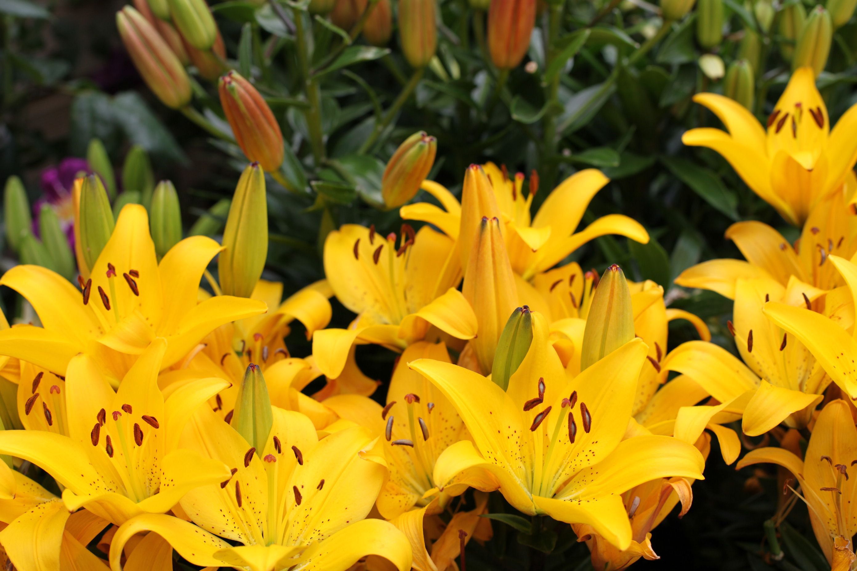 Lilium Golden Matrix Yellow Flowers From May To August Planting