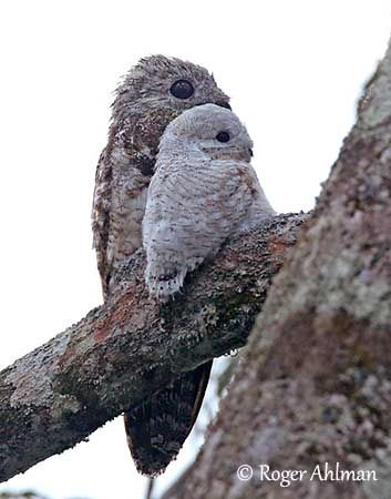 potoo bird - Google Search